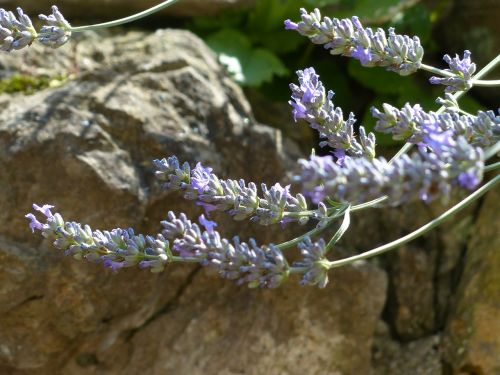 lavender lavender flowers insect