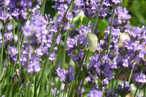 lavender fragrance flowers