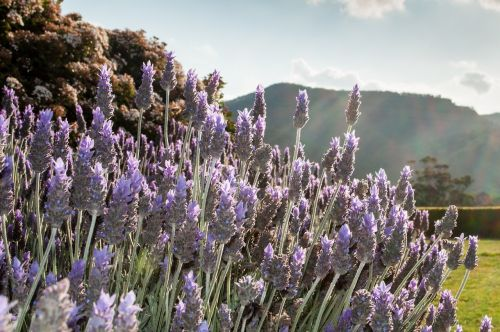 lavender outdoor nature