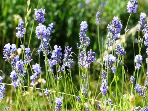 lavender flower flowers