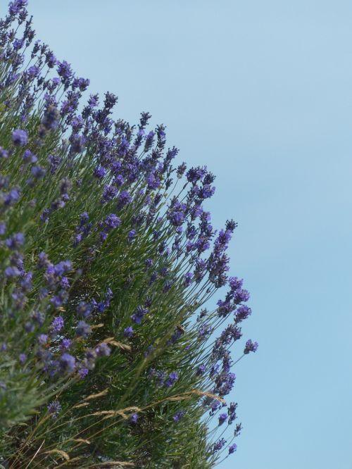 lavender flower flowers