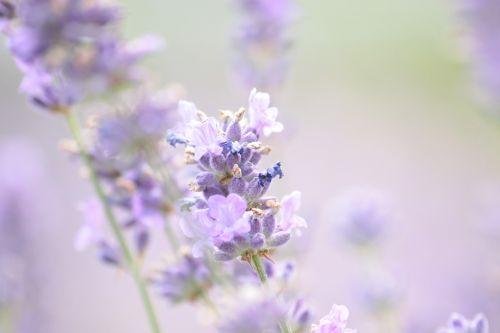 lavender summer violet