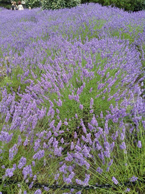 lavender summer holiday