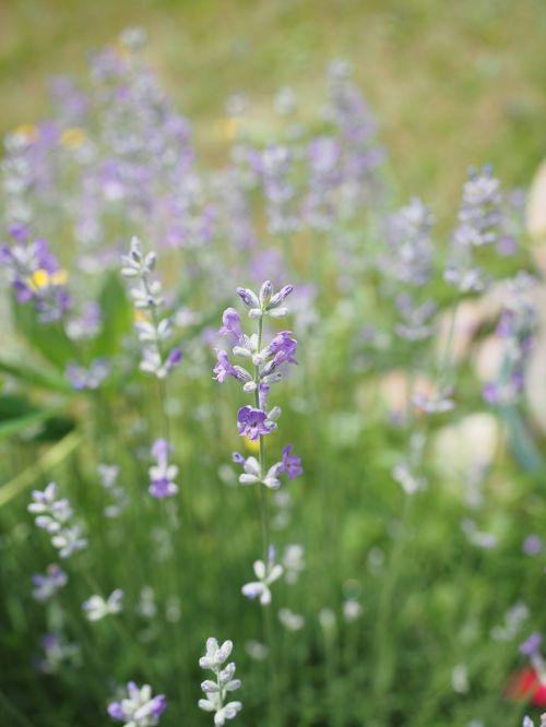 lavender lavender flowers light purple