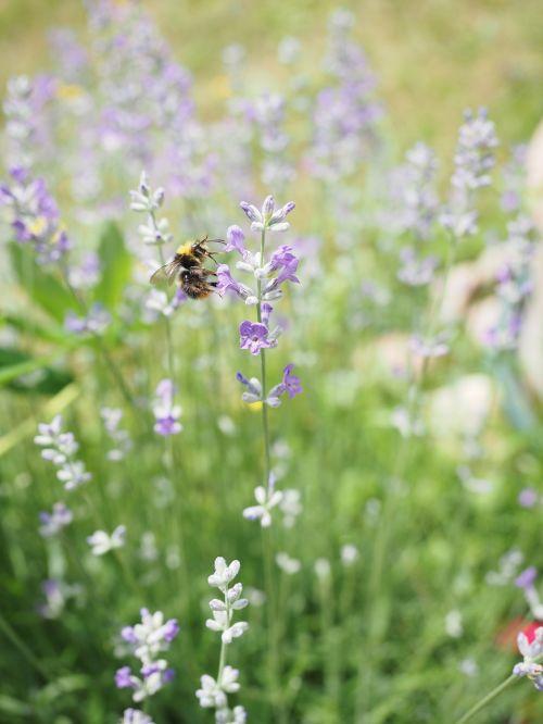 lavender hummel pollination
