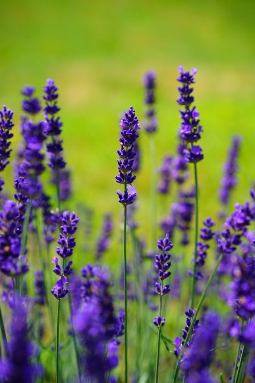 lavender flowers flower