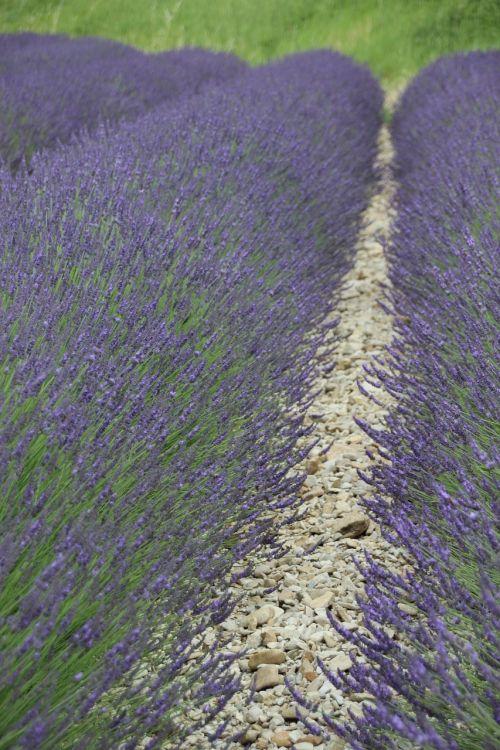 lavender france provence