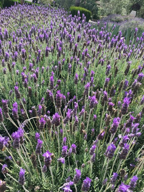 lavender field green