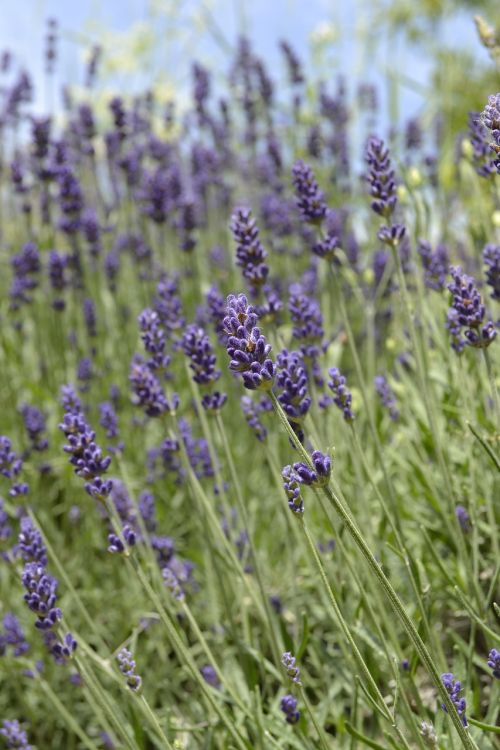 lavender lavender field purple