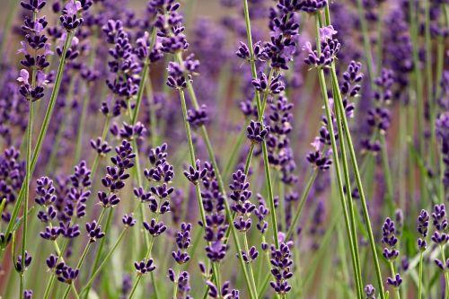 lavender lavender flowers fragrance