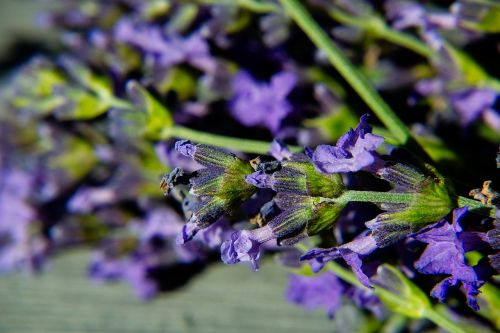 lavender macro blossom