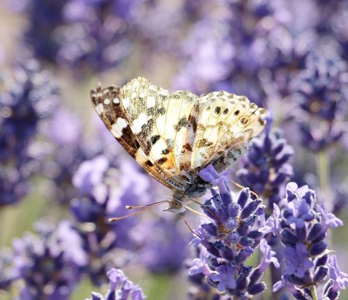 lavender butterfly nature
