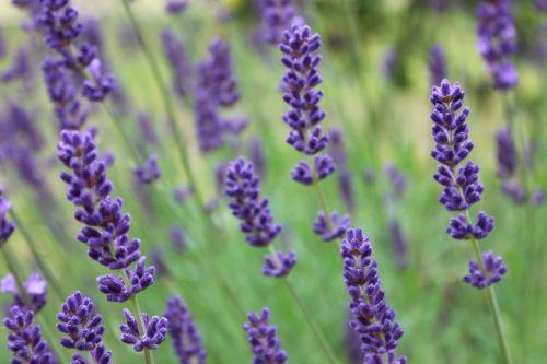 lavender provence perfume