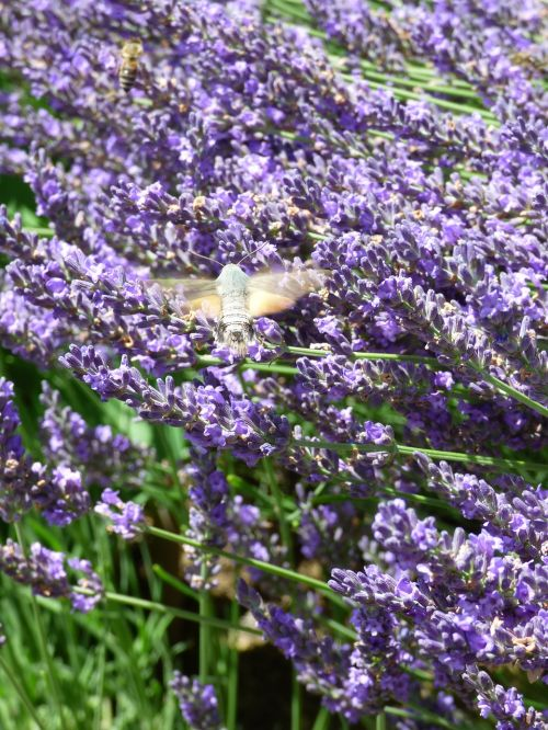 lavender bees and owls insect
