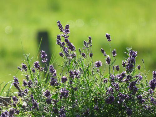 levanda,gamta,gėlė,violetinė,violetinė,levandų gėlės,kvepalai,kvapus augalas,žydintis levandas,gėlė violetinė,purpurinės gėlės,vakaro saulė