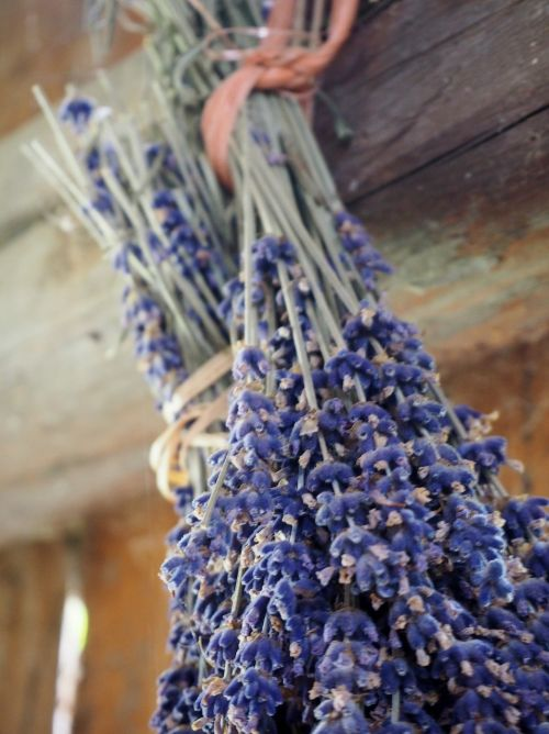 lavender herb dry