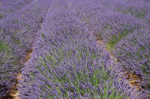 lavender provence lavandin