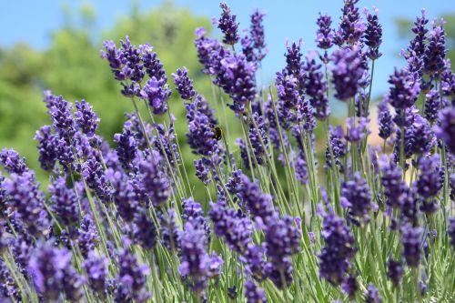 lavender june purple