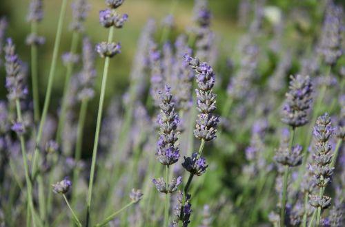 lavender italy lumen