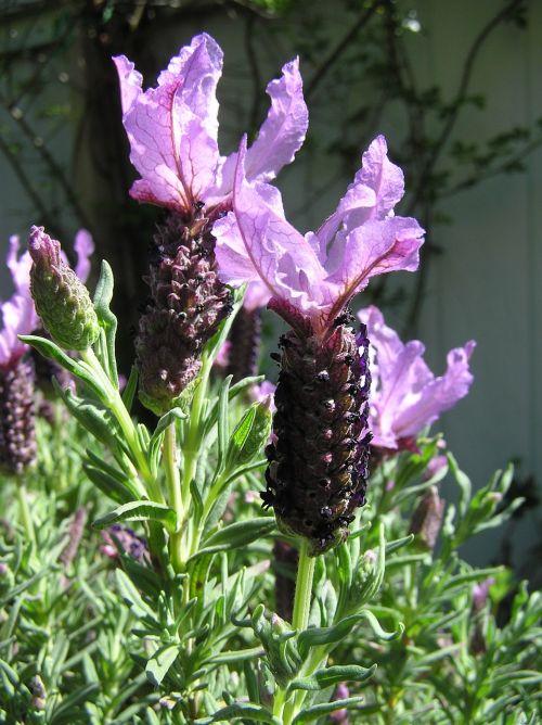 lavender mauve fragrance