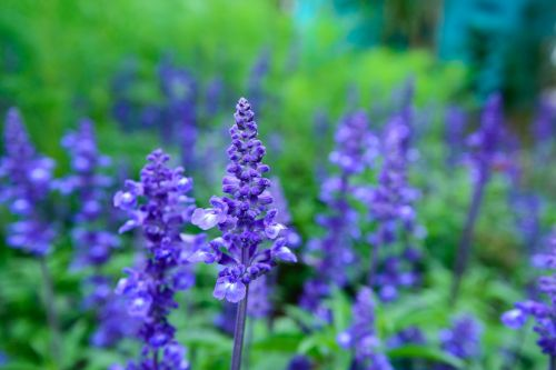 lavender natural united in