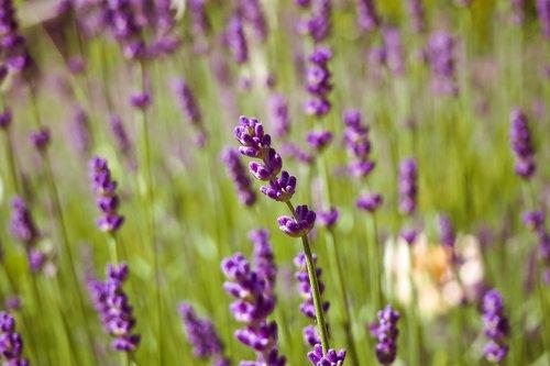 levandų, augalų, pobūdį, gėlė, žalias, pavasaris, papartis, žiedas, žydi, Jūros gėlės, spyruokliniai žiedai, žolė, Violetinė, violetinė, Sodas, žolės, žydi, violetinė gėlė, violetinės gėlės, violetinė gėlė, gėlė violetinė