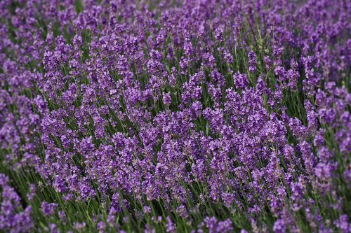 lavender  field  nature