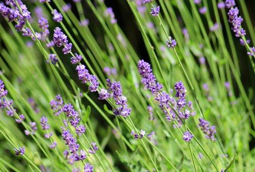 lavender  ornamental plant  purple flowers