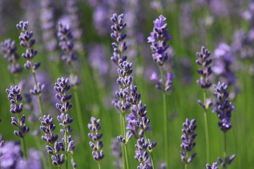 lavender  lavender blossom  purple