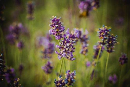 lavender  purple  blossom