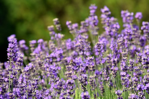lavender  flowers  nature
