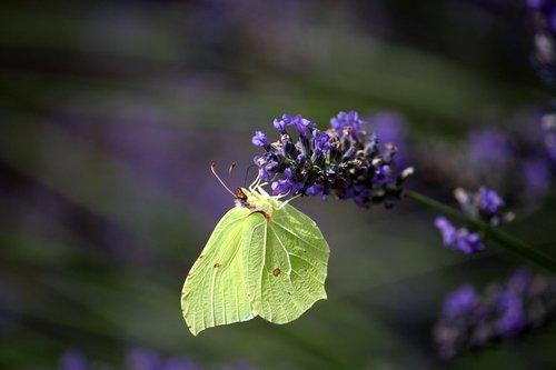 lavender  gonepteryx rhamni  butterfly