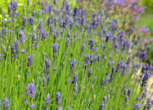 lavender lavender flowers purple