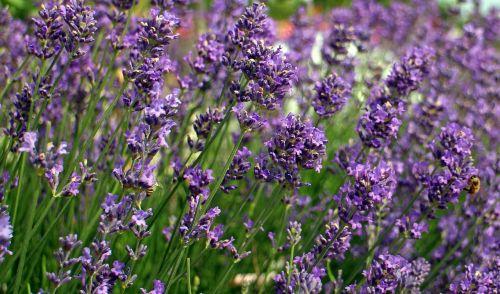 lavender,blossom,bloom,lavender flowers,flora,violet,purple,flower,plant,ornamental plant,scented plant,crop,fragrant,garden plant