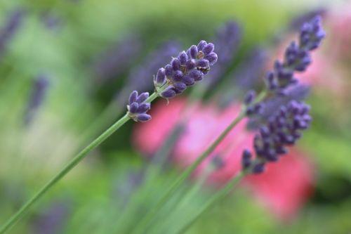 lavender lavender flowers blossom
