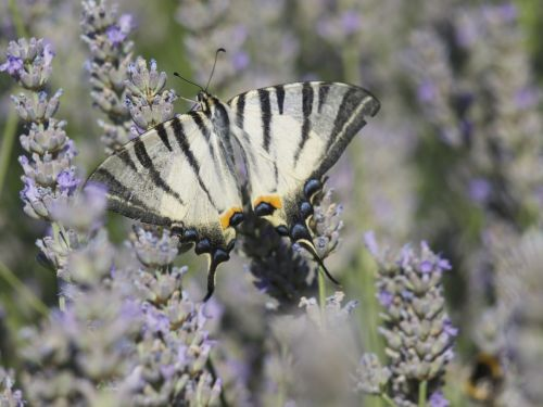 lavender butterfly scented plant