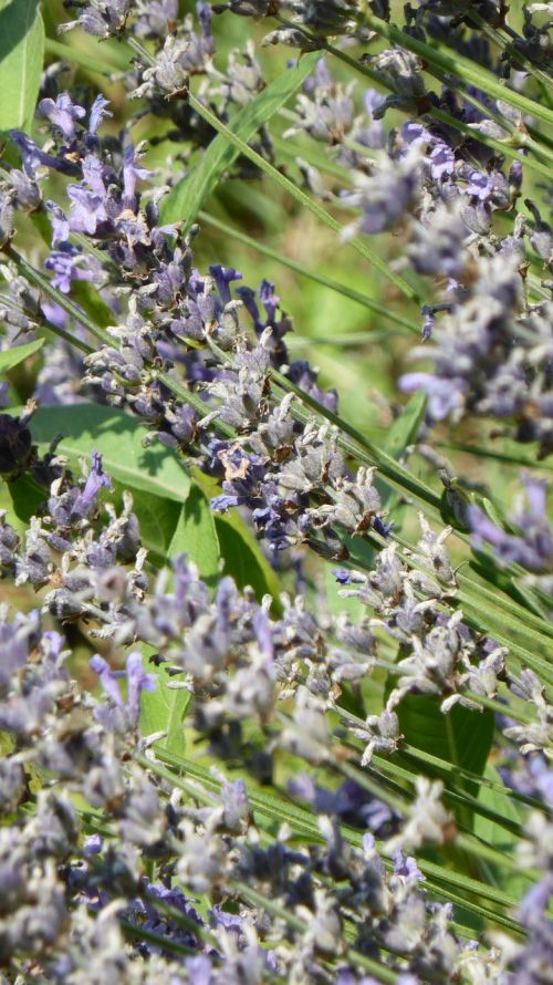 lavender purple violet