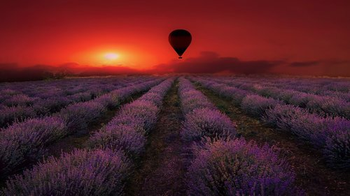 lavender  field  purple
