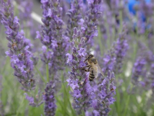 lavender bee forage