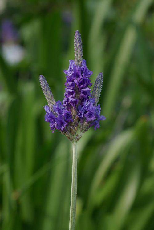 lavender lavandula multifida lamiaceae