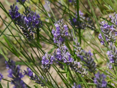 lavender,blossom,bloom,nature,garden,purple,flower,lavender flowers,inflorescence,crop,violet,scented plant,true lavender,wild plant,plant,garden plant,ornamental plant,lavender field,fragrant,close,green