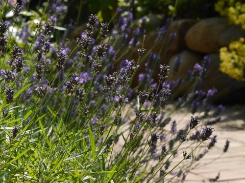 lavender blossom bloom