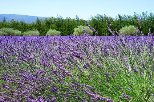 lavender blossom lavender lavender field