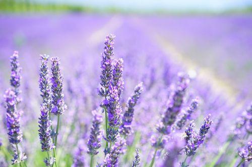 lavender blossom purple violet