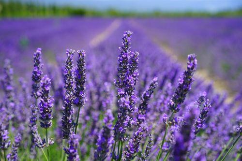 lavender blossom lilac blue lavender field