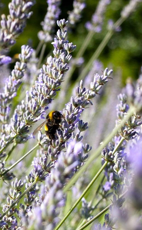 lavender blossom lavender lavender flowers