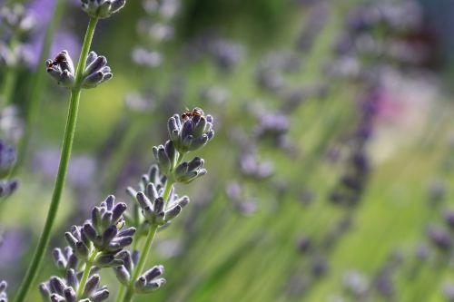 lavender blossom lavender ant