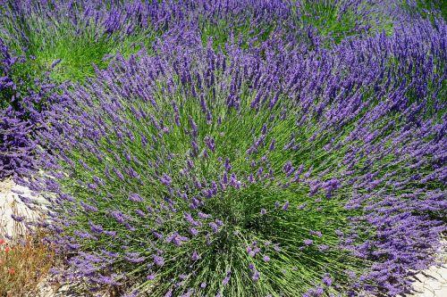 lavender bush lavender flowers flowers