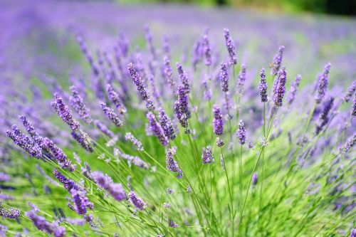 lavender cultivation lavender field lavender