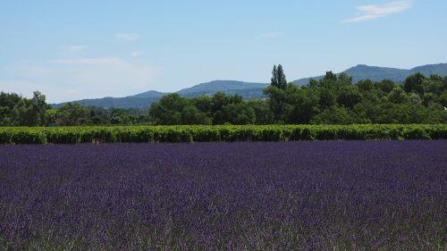 lavender field lavender lavender cultivation